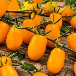 Tomatenpflanze Gelbe Cherrytomate, veredelt, im ca. 12 cm-Topf