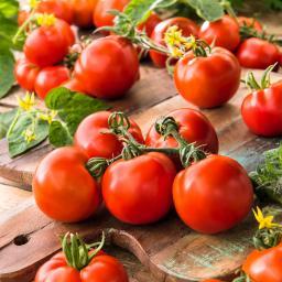 Tomatenpflanze Stabtomate, veredelt, im ca. 12 cm-Topf