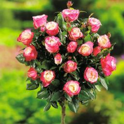 Rot-Weißer Rosen-Stamm, im ca. 26 cm-Topf