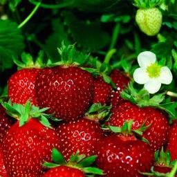 Erdbeere Meraldo, im ca. 9 cm Topf