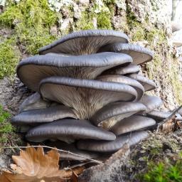 Pilzkultur-Set Austernpilz