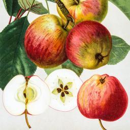 Apfel Pfirsichroter Sommerapfel, im ca. 28 cm-Topf