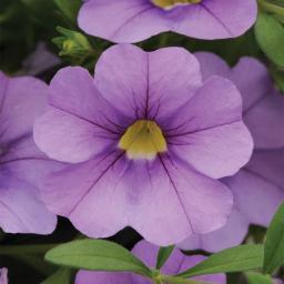 Zauberglöckchen, lila,  im ca. 12 cm-Topf