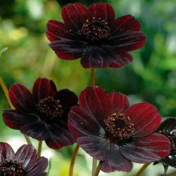 Schokoladenblume, im ca. 14 cm-Topf