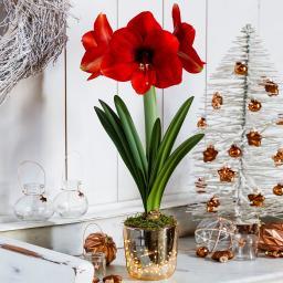 Amaryllis-Set: Amaryllis, Acrylglas-Vase, Moos, LED-Lichterkette, inkl. Batterien