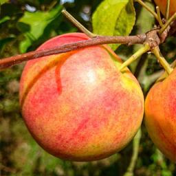 Apfel Geheimrat Dr. Oldenburg , im ca. 28 cm-Topf