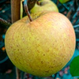 Apfel Golden Delicious , im ca. 26 cm-Topf