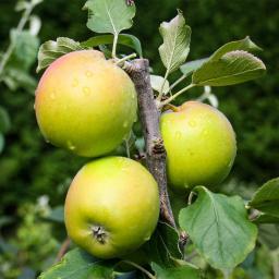 Apfel Holsteiner Cox , im ca. 26 cm-Topf