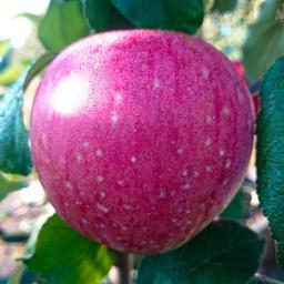 Apfel Rote Sternrenette , im ca. 28 cm-Topf