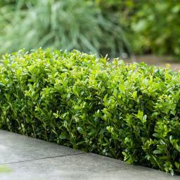 Hecken-Ilex Dark Green®, im ca. 9 cm-Topf
