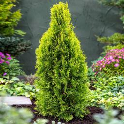 Smaragd-Zypresse, im ca. 17 cm-Topf