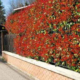 Rote Glanzmispel, im ca. 23 cm-Topf