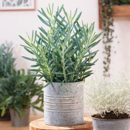 Senecio Aquarine Mount Everest®, im ca. 15 cm Topf