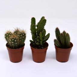 Zimmerpflanzen-Mischung Kakteen, 3er Set, im ca. 6 cm Topf
