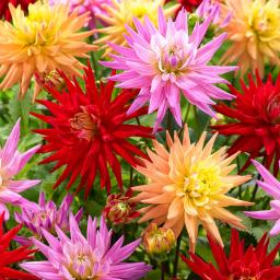 Blumenzwiebel-Mischung Lieblings-Karma-Kaktus-Dahlien