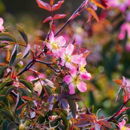 Hechtrose, rotblättig, im ca. 19 cm-Topf