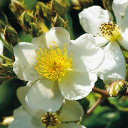 Büschelrose, weißblühend, im ca. 19 cm-Topf