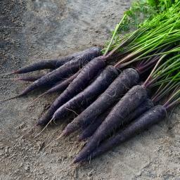 Möhrensamen Purple Sun F1