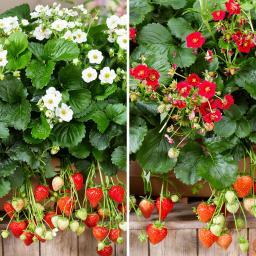 Sortiment Balkon-Erdbeeren, im ca. 11 cm-Topf