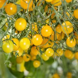 Tomatenpflanze Tomberry Yellow, veredelt, im ca. 12 cm-Topf
