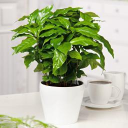 Coffea Arabaica, im ca. 12cm Topf