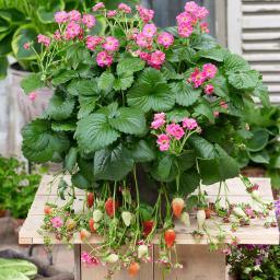 Rosablütige Balkon-Erdbeere, im ca. 11 cm-Topf