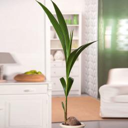 Kokospalme, im ca. 19 cm-Topf