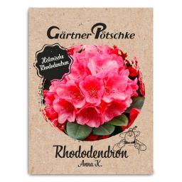 Historischer Rhododendron Anna K., im ca. 23 cm-Topf