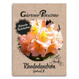 Historischer Rhododendron Gertrud H., im ca. 23 cm-Topf