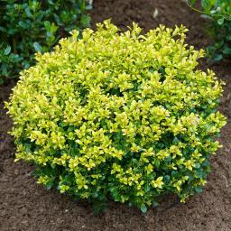Stechpalme, gelb, im ca. 21 cm-Topf