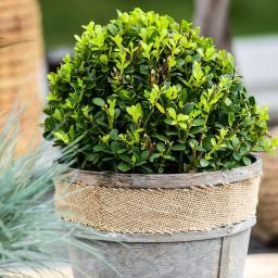 Stechpalme, dunkelgrün, im ca. 21 cm-Topf
