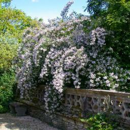 Perlmuttstrauch Kolkwitzie, rosa-weiß, im ca. 23 cm-Topf