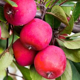 Zwergobst Apfel Appletini, im ca. 28 cm-Topf