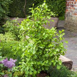 Fächerblattbaum Ginkgo Saratoga, im ca. 21 cm Topf