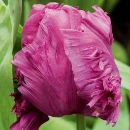 Pinke Pracht Tulpe, im ca. 13 cm-Topf