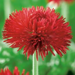 Gänseblümchen Tasso Red, im ca. 13 cm-Topf