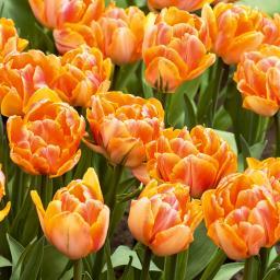 Orange Pracht Tulpe, im ca. 13 cm-Topf