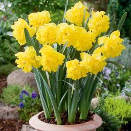 Gelbe Pracht Narzisse, im ca. 13 cm-Topf