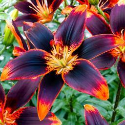 Asiatische Lilie Forever Susan