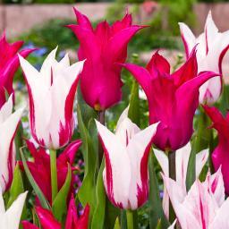 Tulpen-Mischung Mystic Goblets
