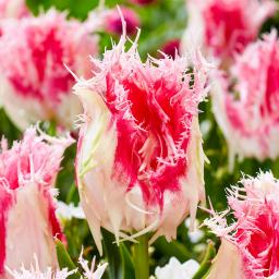 Tulpe Drakensteyn