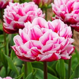 Tulpe Dazzling Desire