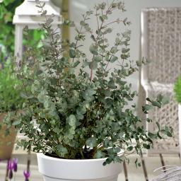 Mostgummi-Eukalyptus-Busch, im 17 cm-Topf