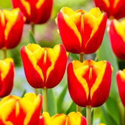 Tulpe Denmark, XXL-Pack.