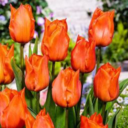 Tulpe Orange Dream, XXL-Pack.