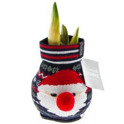 Amaryllis in Santa Claus-Socke