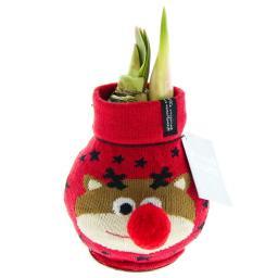 Amaryllis in Rentierchen-Socke
