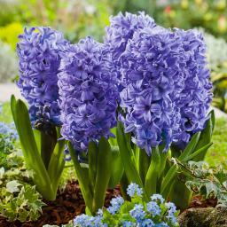 Gartenhyazinthe Delft Blue