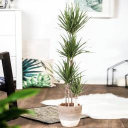 Drachenbaum Marginata, 4er Tuff, im ca. 27 cm-Topf