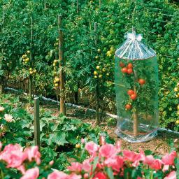 Tomatenhauben, 3 Stück, L 130 cm x Durchmesser 65 cm, transparent